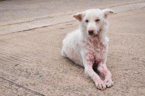 dermatite da malassezia nel cane