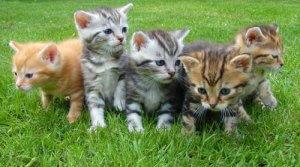 gatti-giovani-rischio-contagio-felv