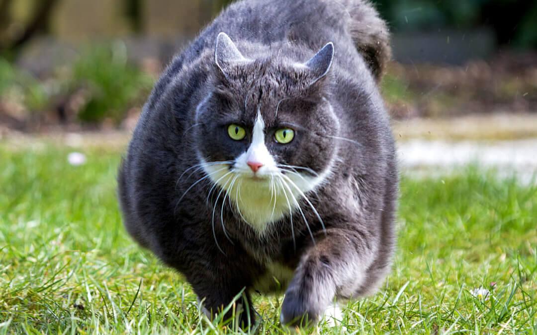 gatti con scarso appetito per la perdita di peso