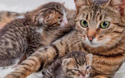 Tutto quello che c'è da sapere sulla Gravidanza e sul Parto del Gatto