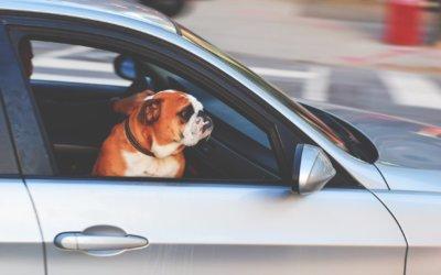 Come trasportare un animale ferito