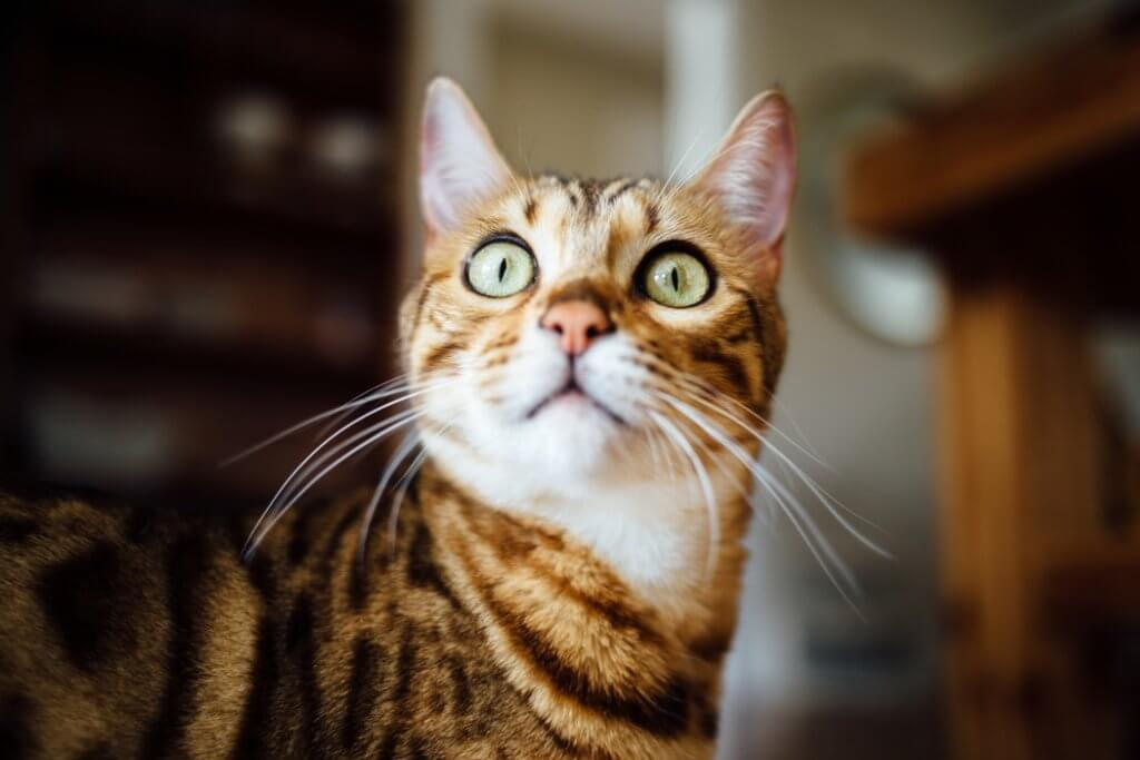 gatto che miagiola vocalizzi - doctorvet