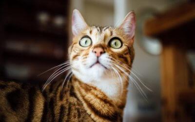 Gatti e miagolio eccessivo