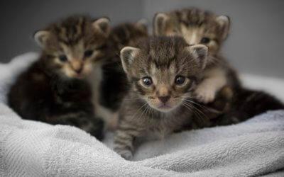 Come prendersi cura dei gattini, gatti cuccioli
