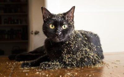 Erba gatto: tutta la verità e perché piace ai gatti