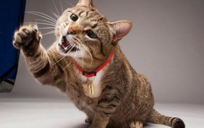 Febbre da graffio o da gatto infetto. Cosa sapere