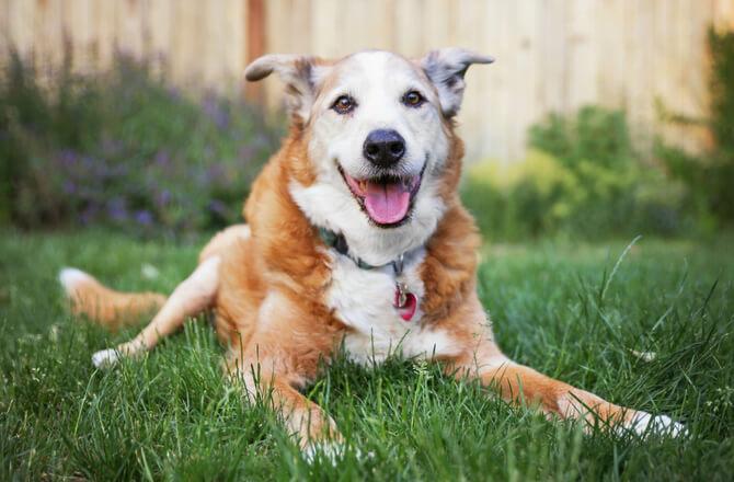 cane adulto sterilizzazione castrazione