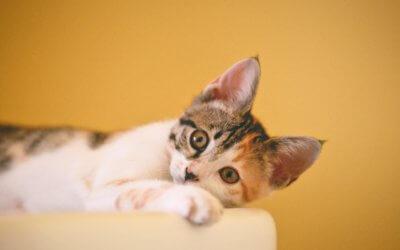 Trattare le ferite del gatto: primo soccorso