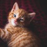 tigna nei gatti contagio e trattamenti