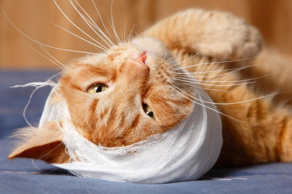 come curare le ferite al gatto - bendaggio