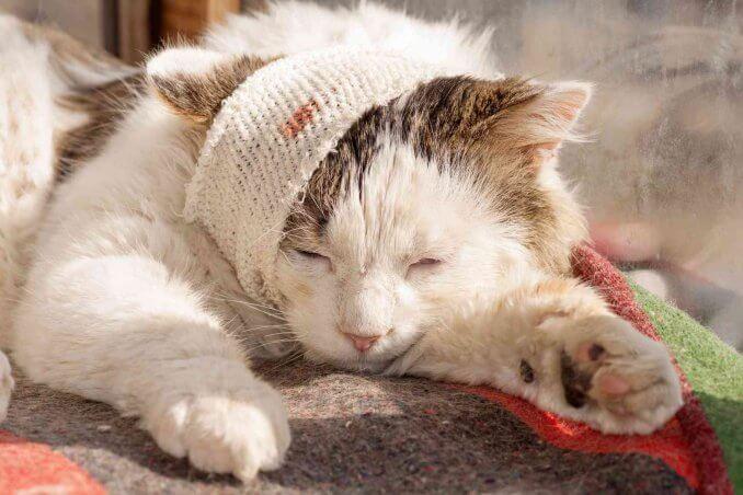 curare-gatto-ferito