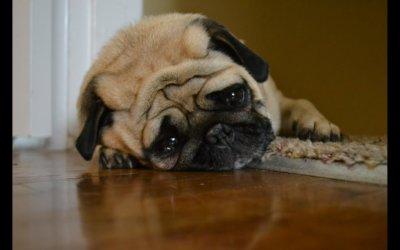 Anemia nei cani: sintomi, cause e trattamento