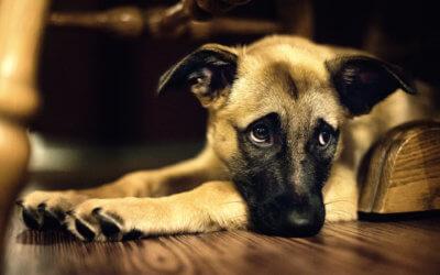 Insufficienza renale nei cani: sintomi, cause e trattamenti
