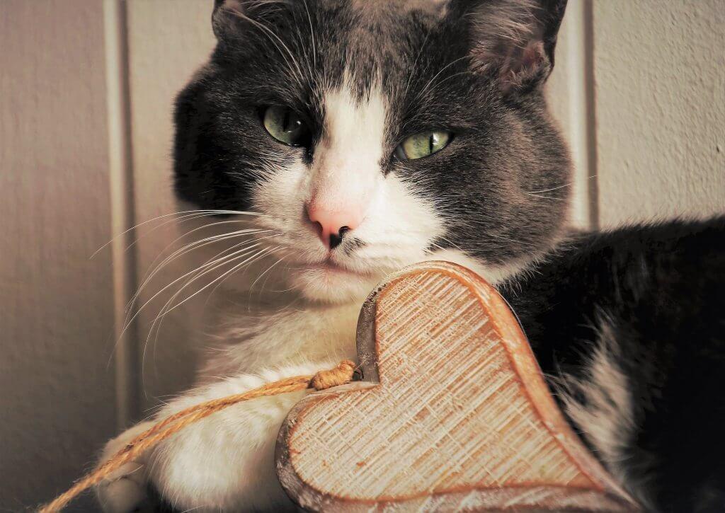 gatto domestico sano e felice