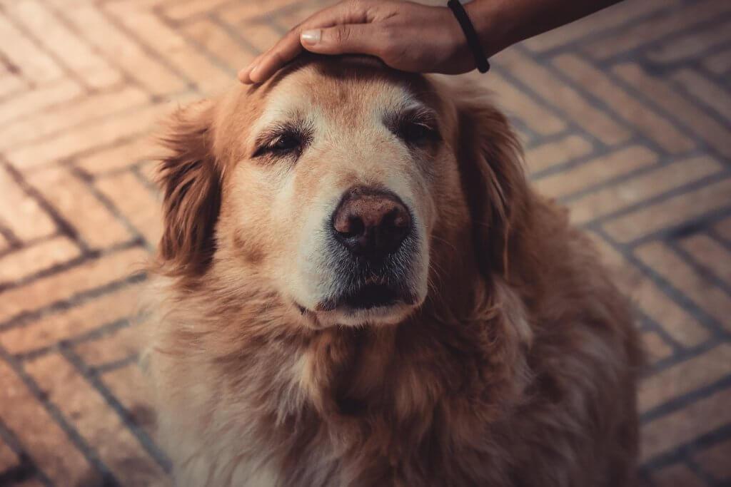cane vecchio - cane morente