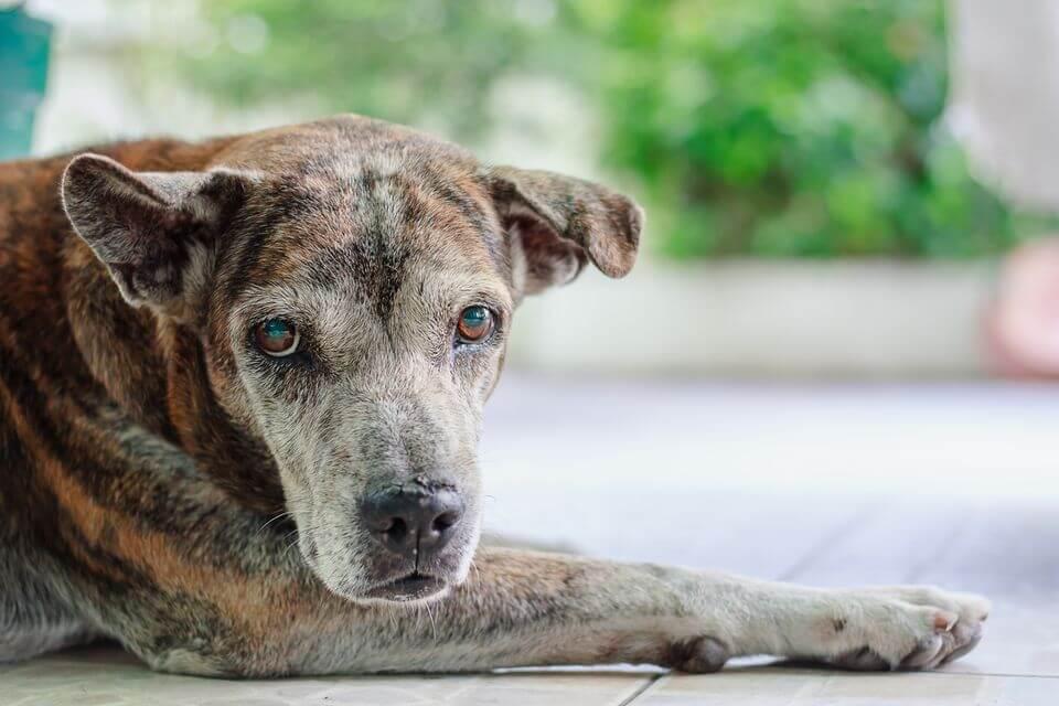 old dog - cane anziano