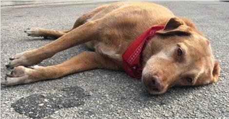 pronto soccorso veterinario cane difficoltà respiratiorie