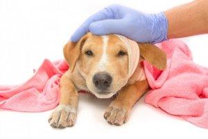 trasportare animale ferito